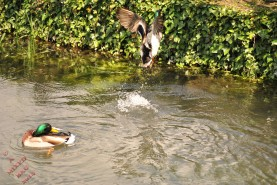 Ducks (10)
