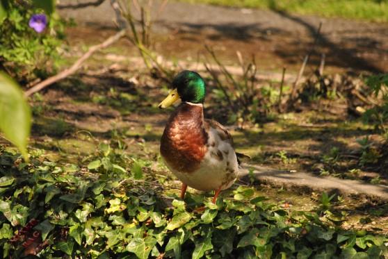 Ducks (12)