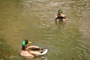 Ducks (4)
