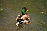 Ducks (5)