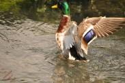 Ducks (6)