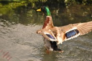 Ducks (7)