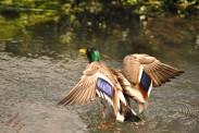 Ducks (8)
