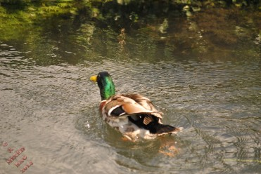 Ducks (9)