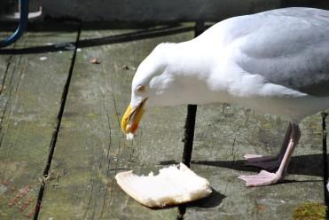 Gulls (6)