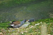 Moorhen And Chick (3)