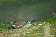 Moorhen And Chick (4)