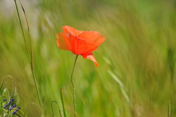 Poppy growing outside the Battle of Britain War Memorial, taken in 2012
