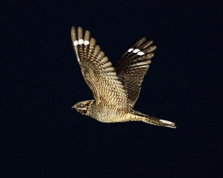 BirdFlyNight